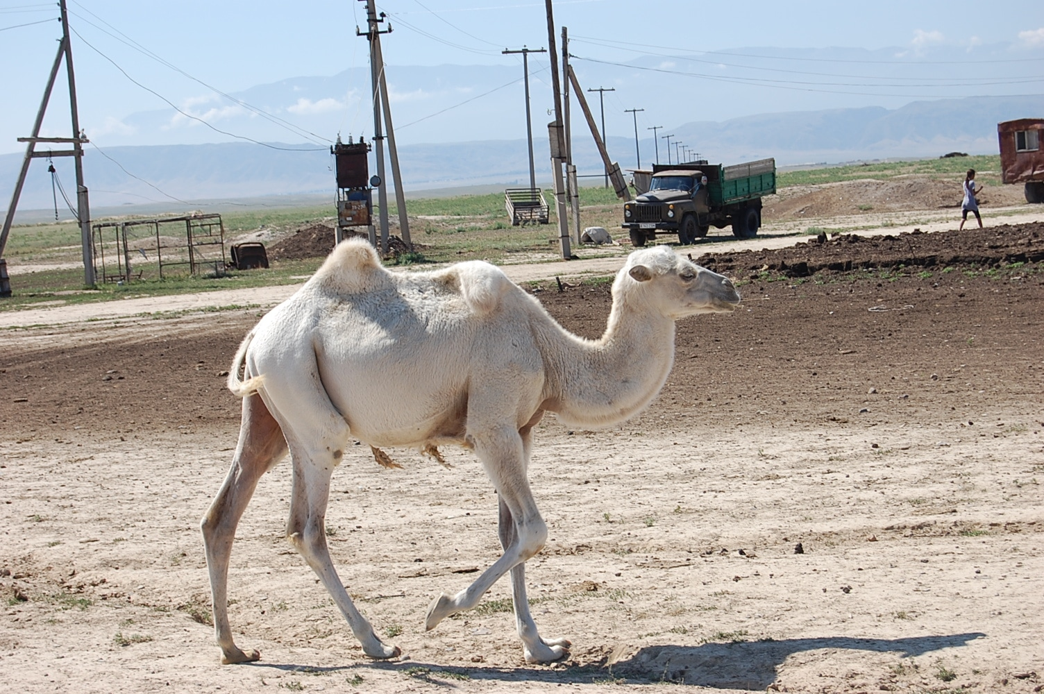 Kamel in Kasachstan
