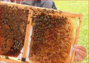 Wechselrahmen mit Waben und Bienen