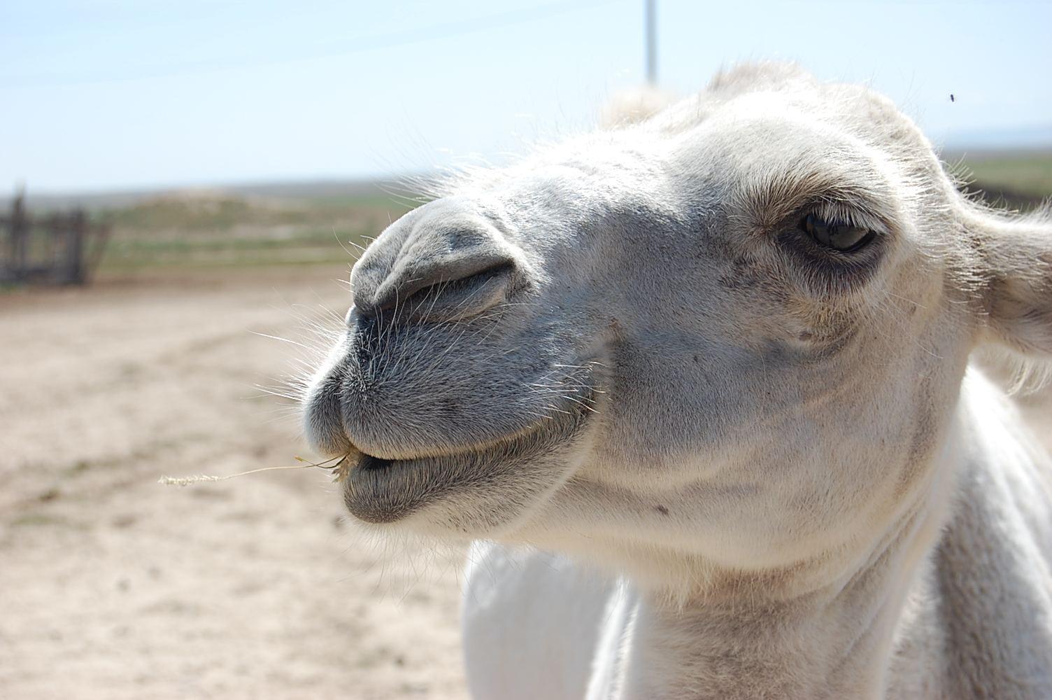 Nahaufnahme vom weißen Kamel